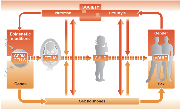 factors influencing sex development from Regitz-Zagrosek, V. EMBOR 13 (7)