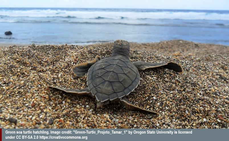 turtle headed to ocean